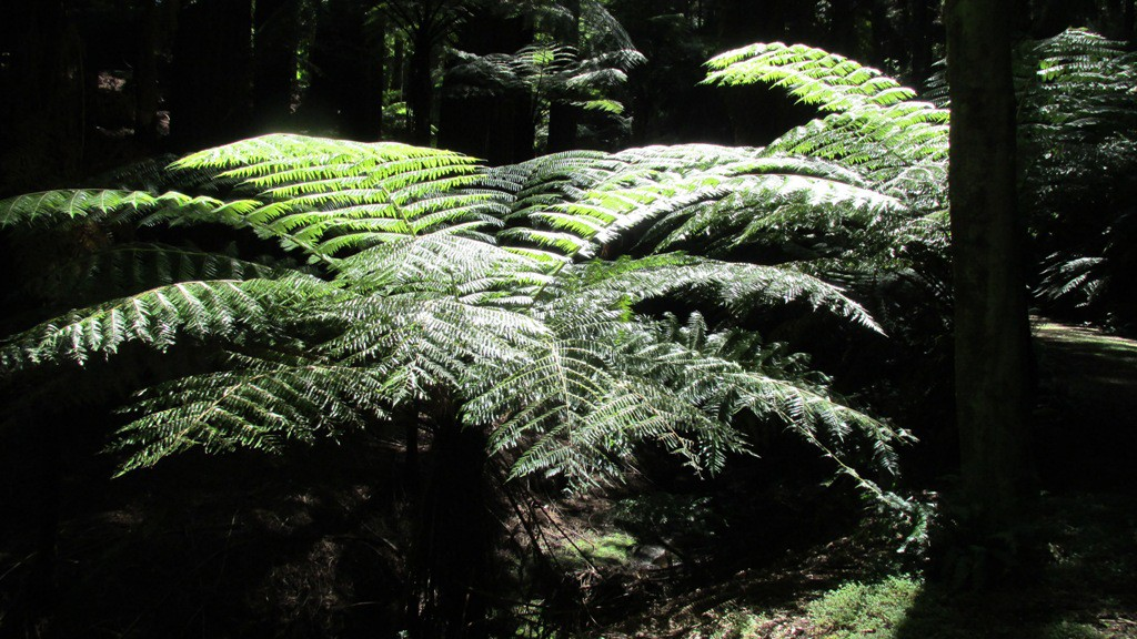 fern tree, Holt Forest, Hawkes Bay, New Zealand